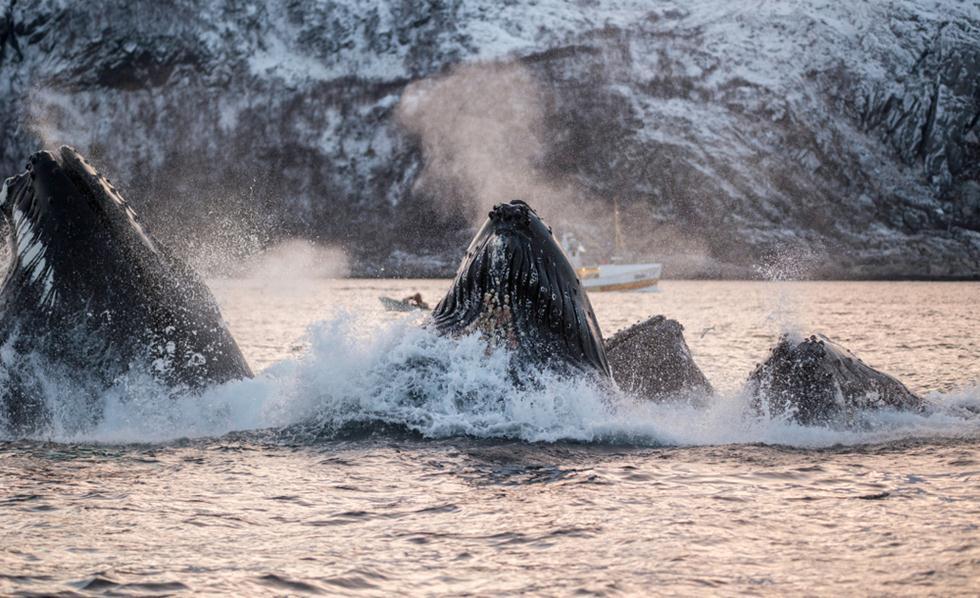 לוויתנים גדולי סנפיר (צילום: shutterstock)
