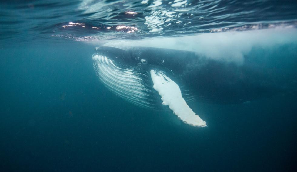 לוויתן גדול סנפיר (צילום: shutterstock)
