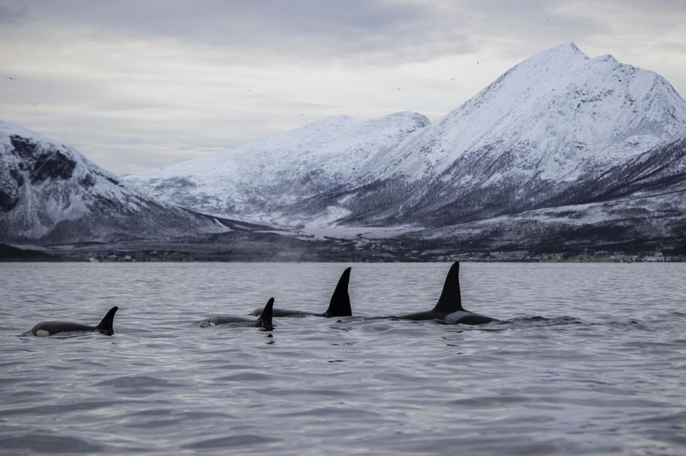לוויתנים קטלנים בנורבגיה (צילום: shutterstock)