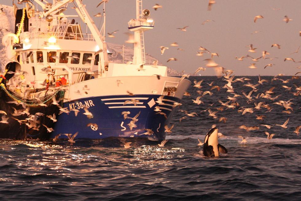 לוויתנים קטלנים ליד ספינת דיג (צילום: shutterstock)