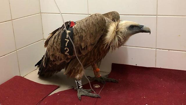 Выживший орел. Фото: Рони Алиас
