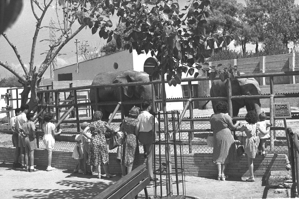 """היום פחות מקובל לדחוס חיות במרחב עירוני כה מצומצם, אך בזמנים אחרים, פחות מודעים לזכויותיהם של בעלי החיים, הוא היה להיט: בשנת 1939 היה מספר המבקרים בגן 60 אלף. שני עשורים מאוחר יותר ביקרו בו כ-400,000 ילדים ומבוגרים בשנה (צילום: פריץ כהן, לע""""מ)"""