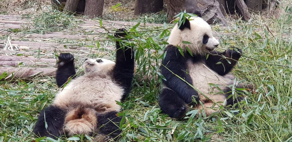 פנדות - ללא ספק החיה החמודה בעולם.  (צילום: יפעת יגר)