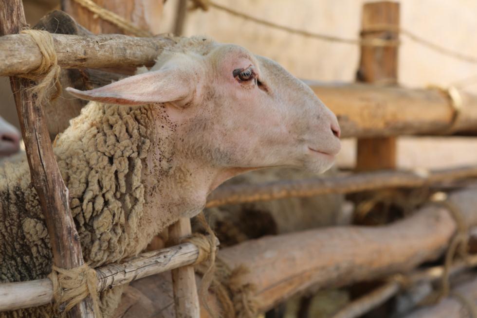 כבשה (צילום: shutterstock)