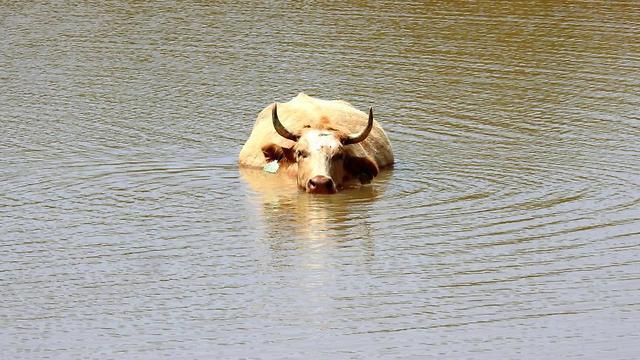 הפרות ברמת הגולן מצננות עצמן במאגרי המים (צילום: רינה נגילה)