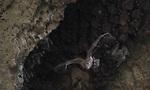 נקבת עטלף פירות ביחד עם הגור שלה ביציאה ממערה (צילום: באדיבות אוניברסיטת תל אביב)