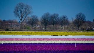 גני קוקנהוף הולנד (צילום: אורטל צבר)