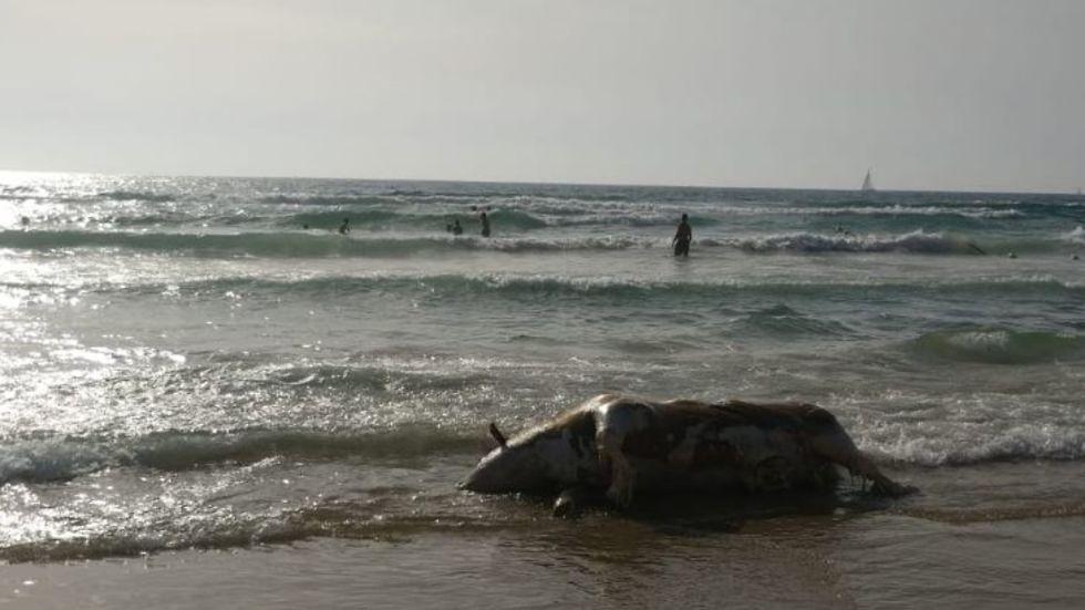 פגר העגל היום בחוף הצוק בתל אביב (צילום: גבי שמעיה)