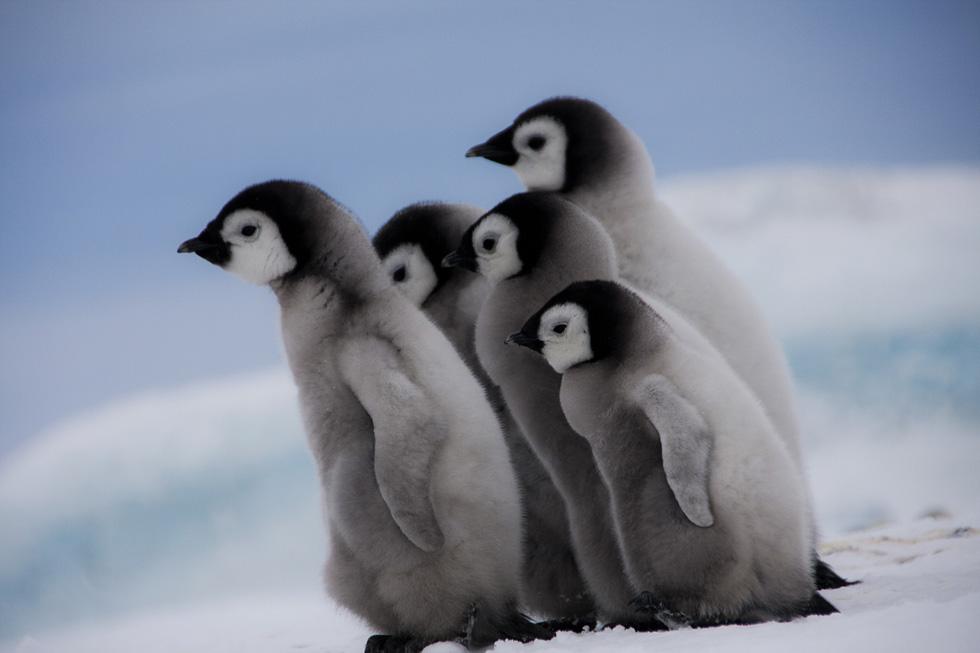 Пингвинята. Фото: Дафна Бен-Нун