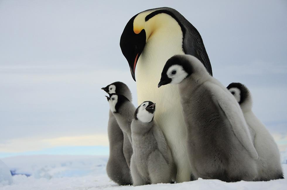 Королевские пингвины. Фото: Дафна Бен-Нун