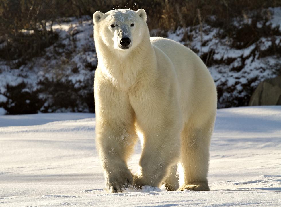 Канадский белый медведь. Фото: Дафна Бен-Нун
