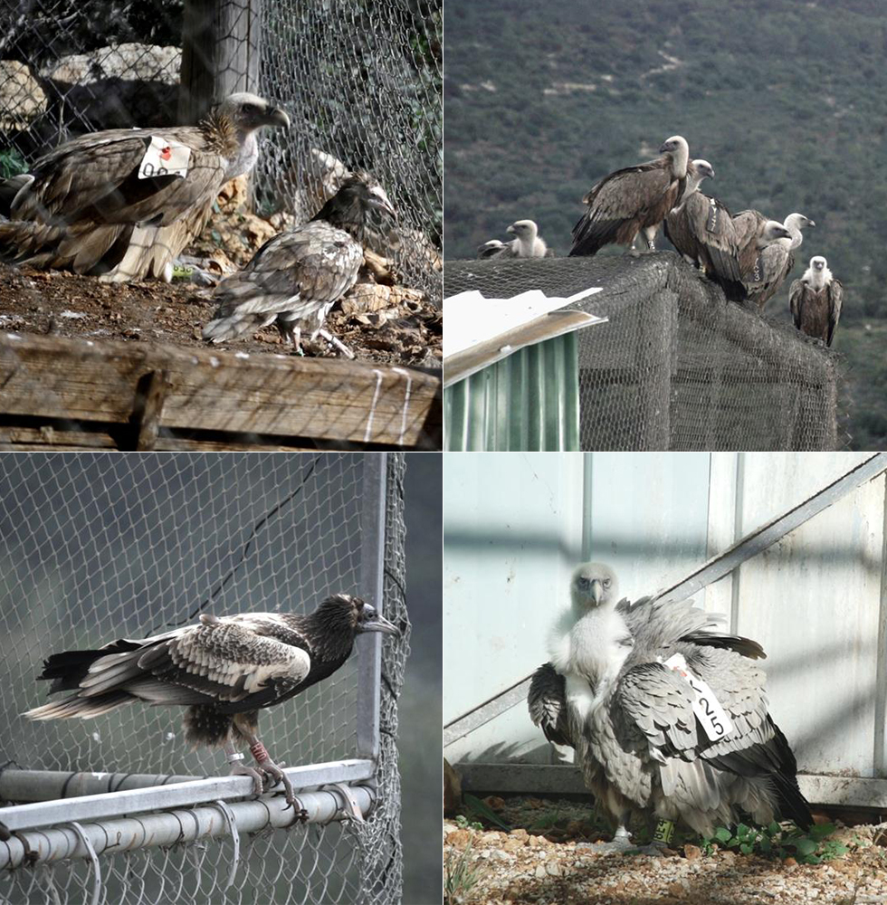 Adult vultures come in for a visit (Photo: Erez Erlichman)