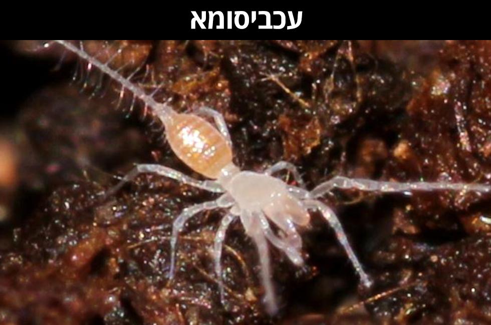 עַכְּבִיסוּמָא | Eukoenenia mirabilis (צילום: שלמי אהרן)