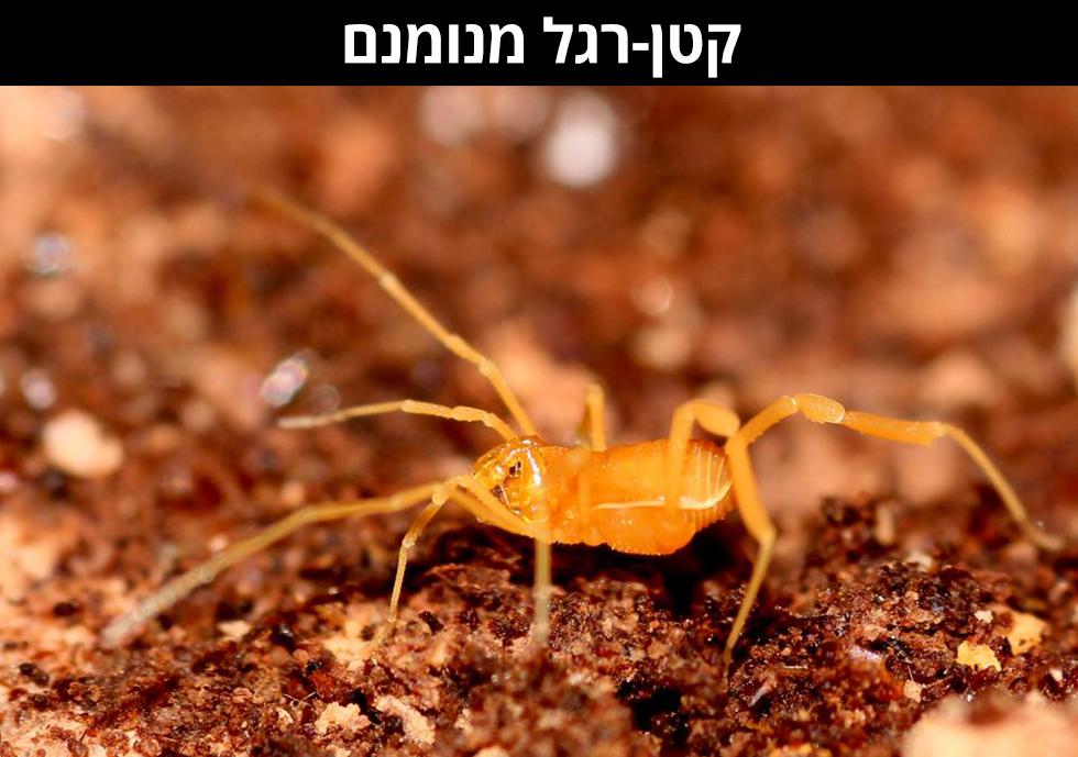 קְטַן-רֶגֶל מְנֻמְנָם | Haasus naasane sp. nov (צילום: שלמי אהרן)
