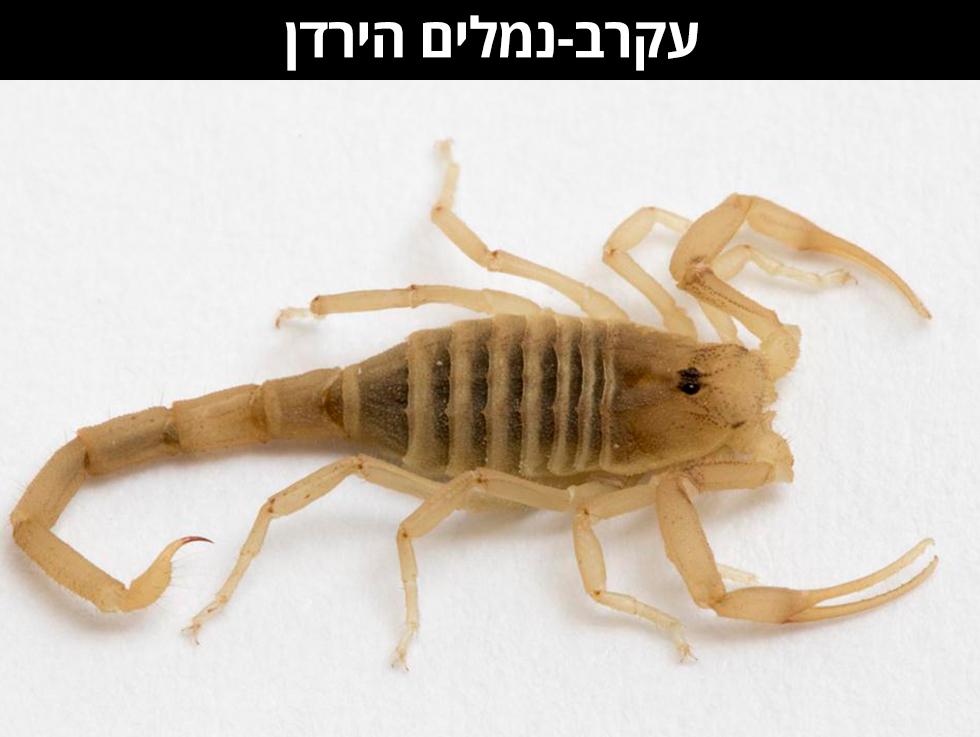 עַקְרַב-נְמָלִים הַיַּרְדֵּן | Birulatus israelensis (צילום: רוני לבנה)