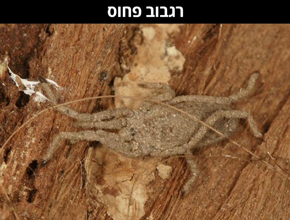 רַגְבּוּב פָּחוּס | Trogulus gypseus (צילום: עמיר ויינשטיין)