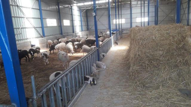 4 ספרי תורה שנגנבו נמצאו בדיר כבשים (צילום: דוברות המשטרה)