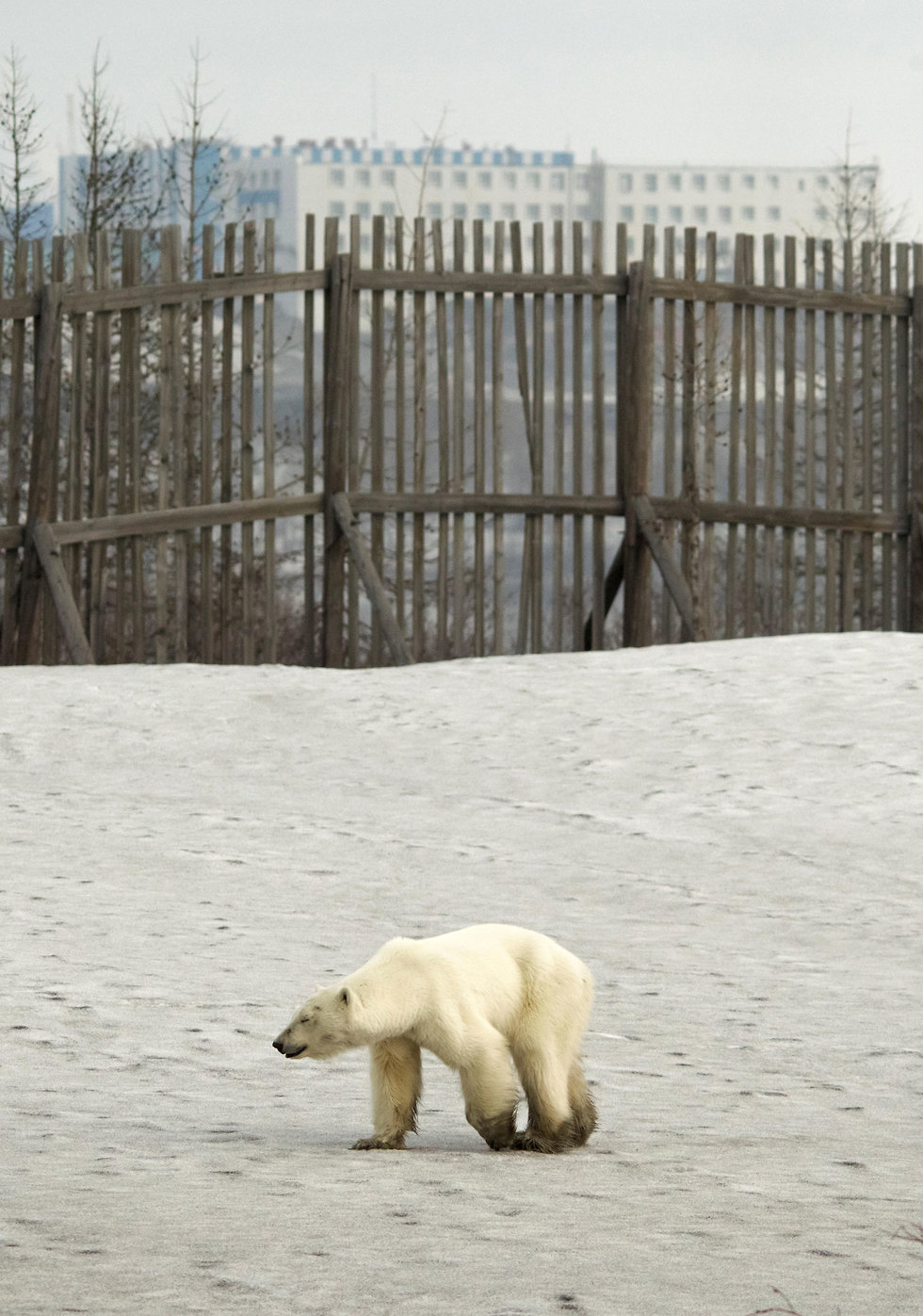 דובת קוטב נודדת בעיר הצפונית נורילסק (צילום: רויטרס)