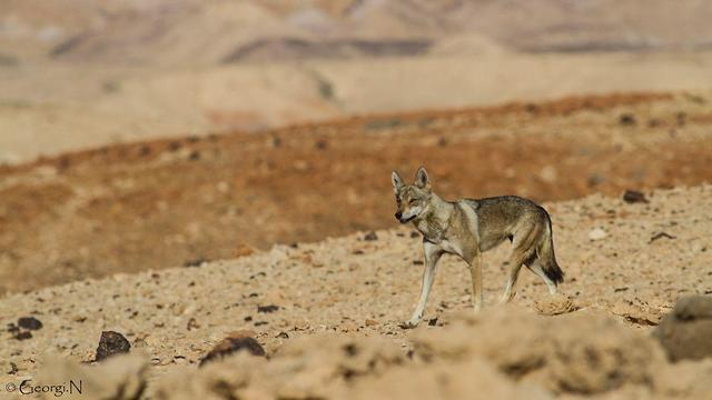 A jackal in the Small Crater (Photo: Israel Nature and Parks Authority)