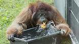 An orang-utan plays with water at the zoo Schoenbrunn in Vienna, Austria (Photo: AP)