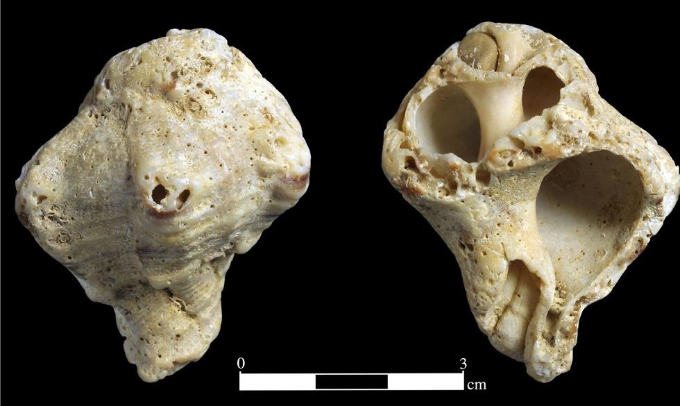 קונכייה שהובאה אל עין קשיש מהים התיכון (צילום: קלרה עמית, רשות העתיקות)