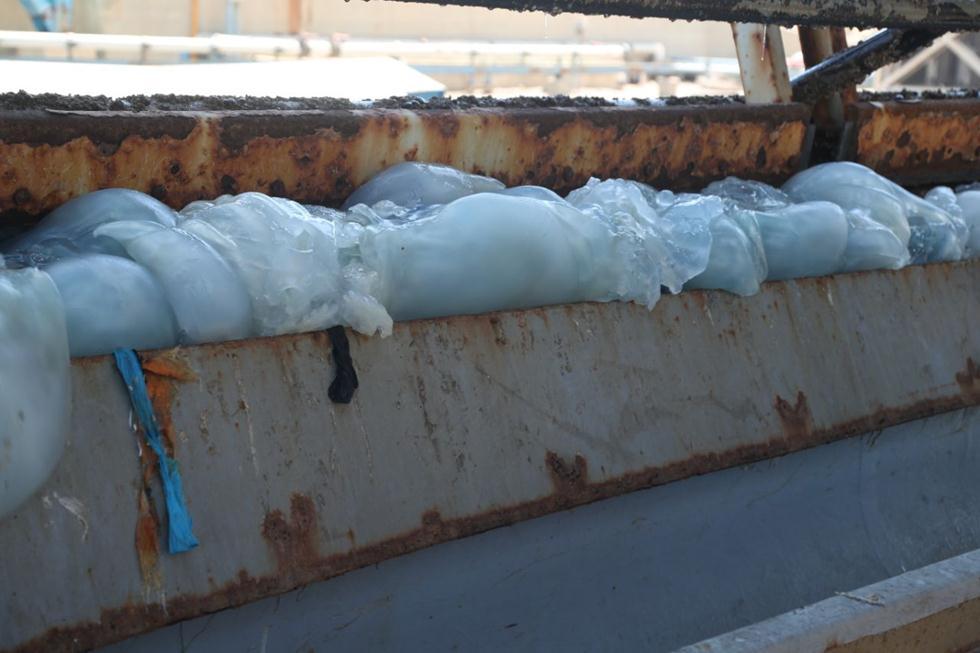 Jellyfish at Ashkelon's power station (Photo: Israel Electric Corporation)