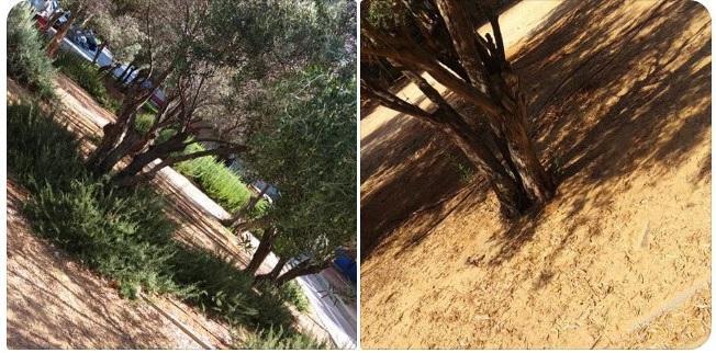 Один и тот же городской парк - с поливом и без. Фото: личный архив