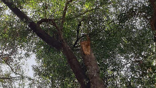 העץ שממנו קרס הענף ()