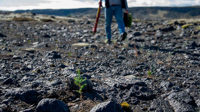 איסלנד יער יערות שתילה (צילום: AFP)