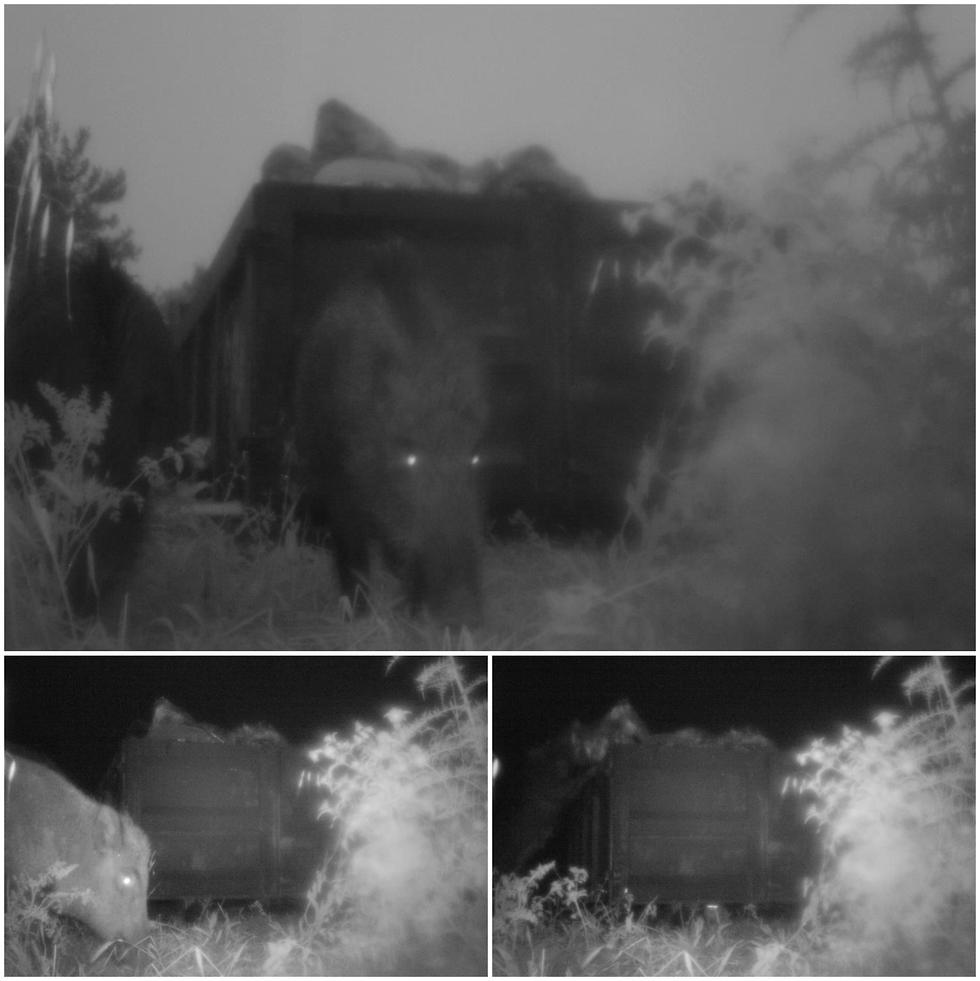 חזיר בר מחפש אוכל במכולת אשפה בפארק הכרמל (צילום: בן רוזנברג, רשות הטבע והגנים)