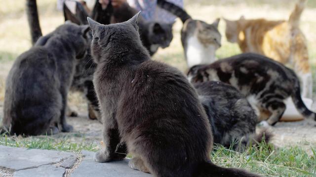 אילוס אילוסטרציה אישה מאכילה חתולים משוטטים חתולי רחוב (צילום: shutterstock)