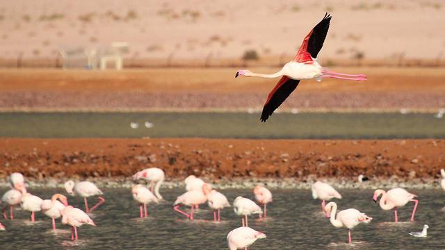 פלמינגו בבריכות המלח באילת (צילום: נועם וייס, מרכז צפרות החברה להגנת הטבע)