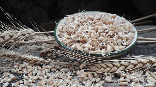 לכתבה בלבד מזון מונבט חיטה מונבטת (צילום: כנה שכטר)