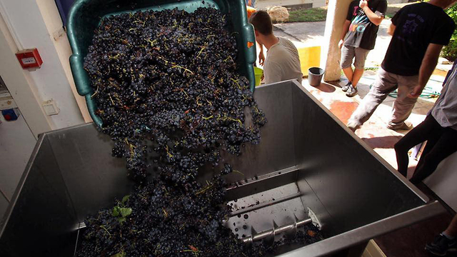 ענבים לצורך הכנת יין של תלמידים מכפר הנוער החלקאי מאיר שפיה (באדיבות כפר הנוער מאיר שפיה)