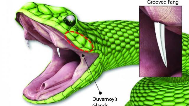 חיקו את הדרך שבה נחשים מחדירים ארס. שיניים אחוריות של נחש, עם החריץ לאורכן  (הדמיה: W.-G. Bae et al, מתוך המחקר)