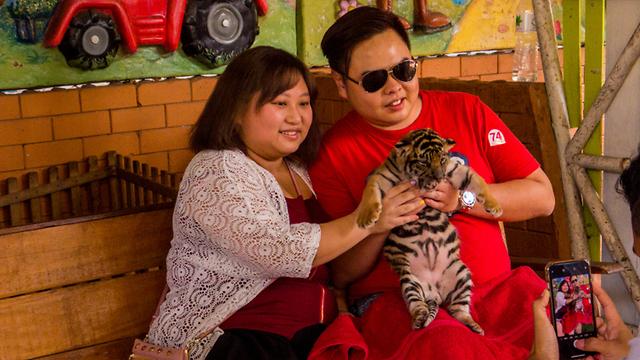 טיגריס טיגריסים תאילנד התעללות שבי (צילום: shutterstock)