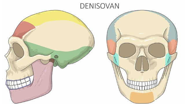 גולגולת של האדם הדניסובי (צילום: באדיבות מעיין הראל ו-CELL)