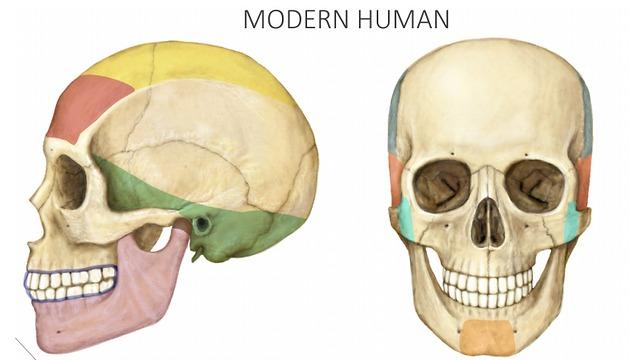 גולגולת של אדם בן זמננו (צילום: באדיבות מעיין הראל ו-CELL)