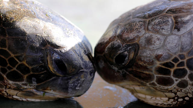 Two green sea turtles touch heads at the Israeli Sea Turtle Rescue Center in Mikhmoret