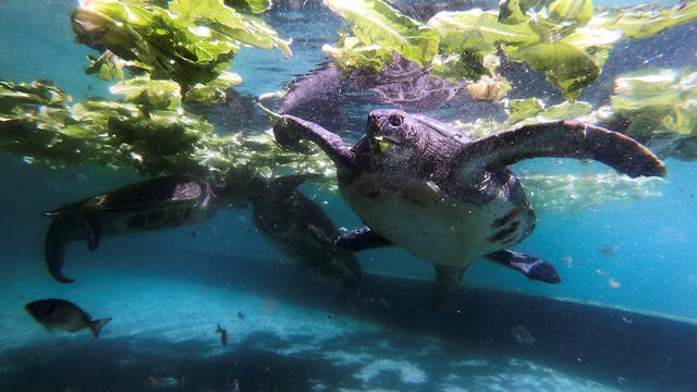Green sea turtles are seen in a picture taken with a Go-Pro camera attached to a turtle as it swims in a pool at the Israeli Sea Turtle Rescue Center in Mikhmoret