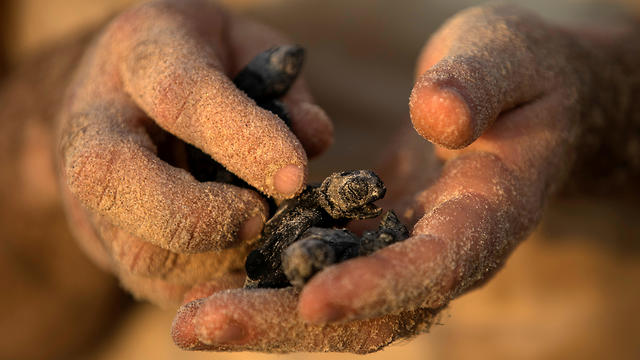 A child holds a newly hatched sea turtle born at a protective nesting site set up near Mikhmoret by the Israeli Sea Turtle Rescue Center