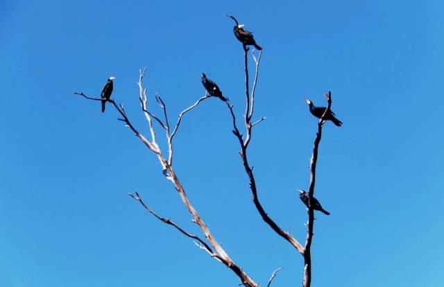 Бакланы прилетают к реке Хадера с октября по март. Фото: Леон Левитас