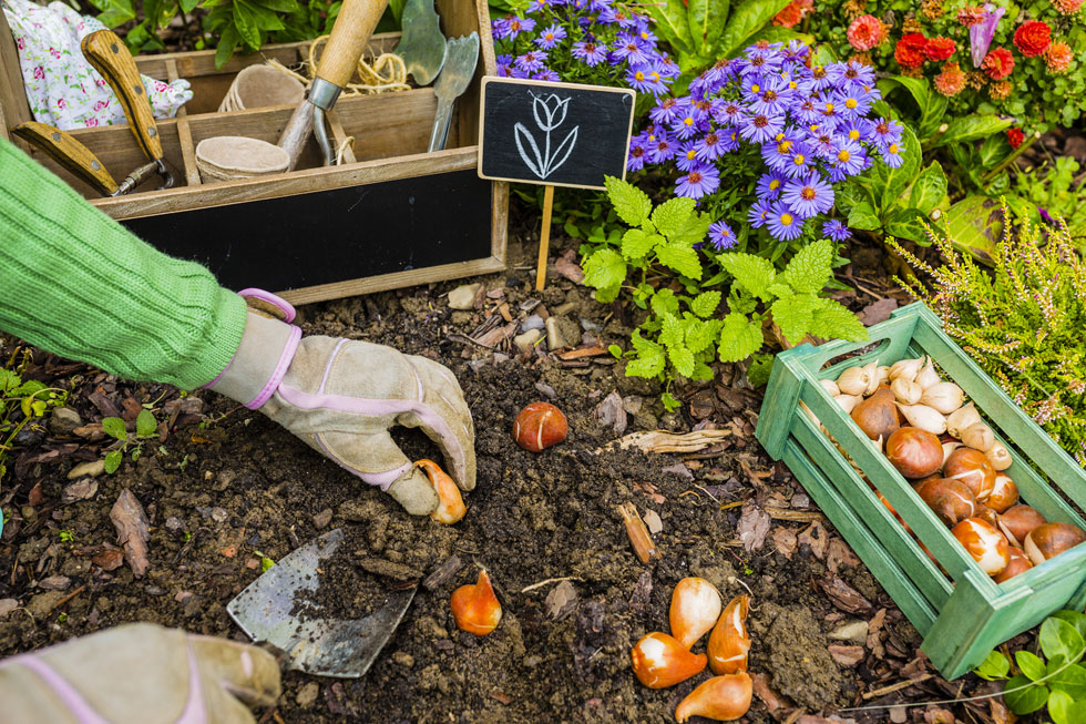הפקעות והבצלים הינם למעשה מנגנון הישרדות מתוחכם, שעוזר לצמח לשרוד תקופות יובש ארוכות וללבלב שוב כעוף החול שנה אחרי שנה (צילום: Shutterstock)