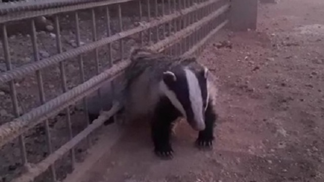 The badger stuck in the border fence