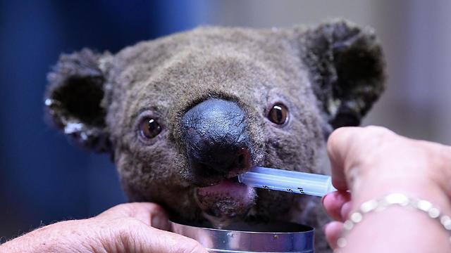 אוסטרליה שריפות אש קואלה חולצה (צילום: AFP)