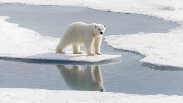 אחד הסמלים של ההתחממות. דב קוטב בנורבגיה (צילום: shutterstock)