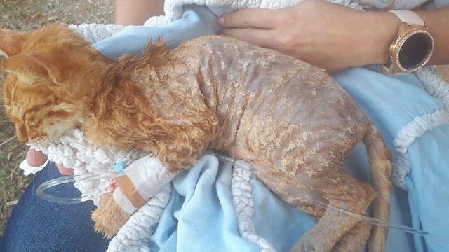 חתולה שנפגעה ממסיר שומנים ששפך עליה חייל  ()