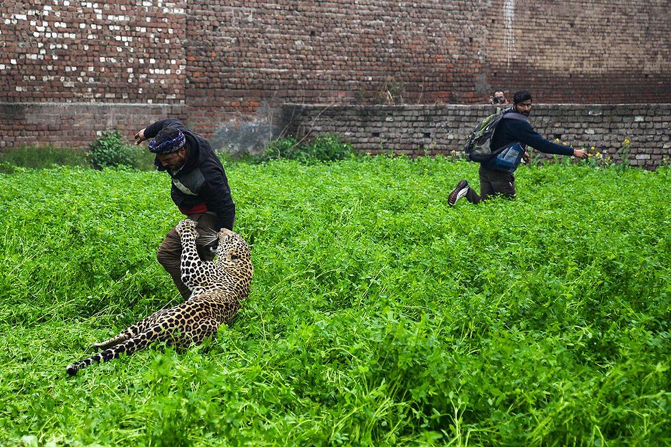 תמונות השנה AFP נמר תוקף אדם בניסיונות ללכוד אותו באזור ג'לנדהאר הודו (צילום: AFP)