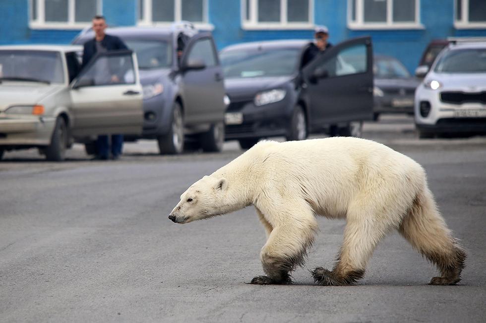 תמונות השנה AFP דוב קוטב רעב משוטט בעיר נורילסק רוסיה מאות ק