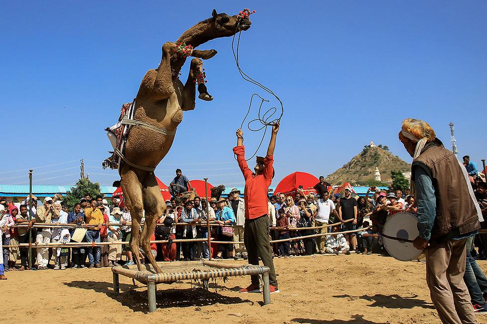 תמונות השנה AFP גמל תחרות ריקוד יריד גמלים פושקר הודו (צילום: AFP)
